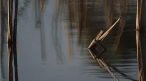 Water Reeds, Winter's Swamp